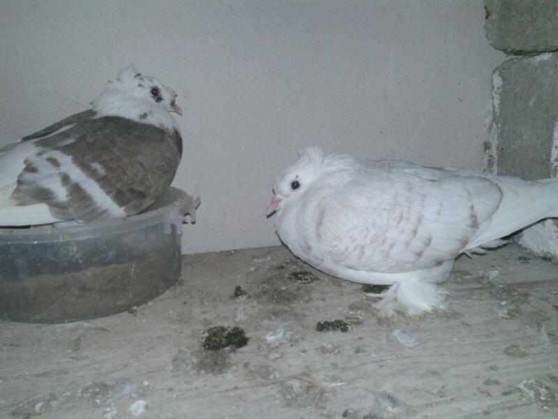 عکس کبوتر فروشی